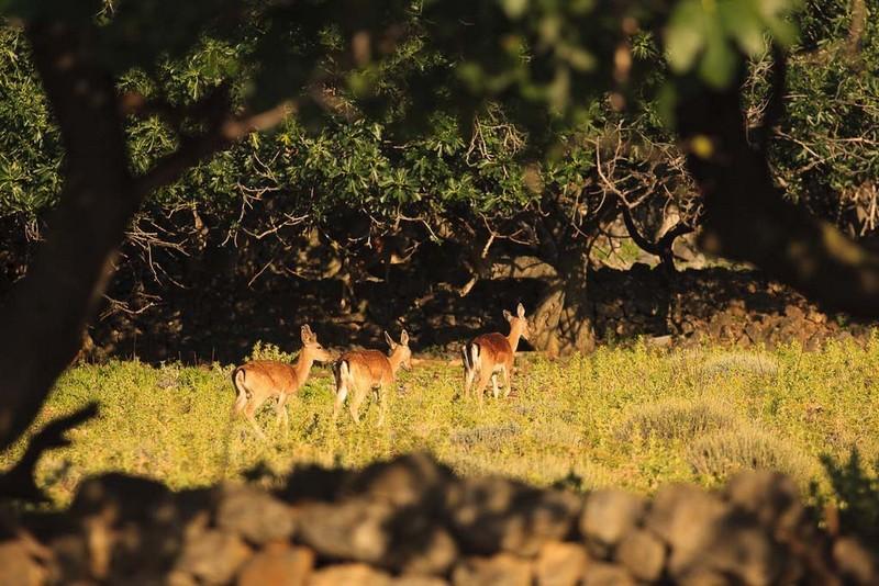 Grgur island deer nature