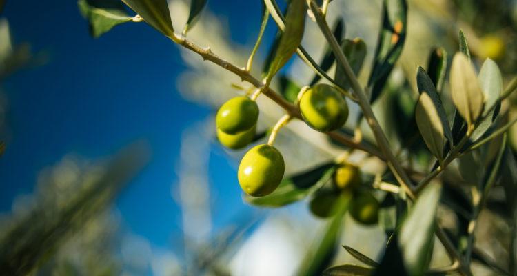 olive-mediterranean-queen